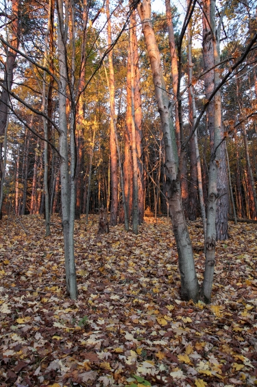 Morning light strikes the trees on the dune at Saugatuck State Park