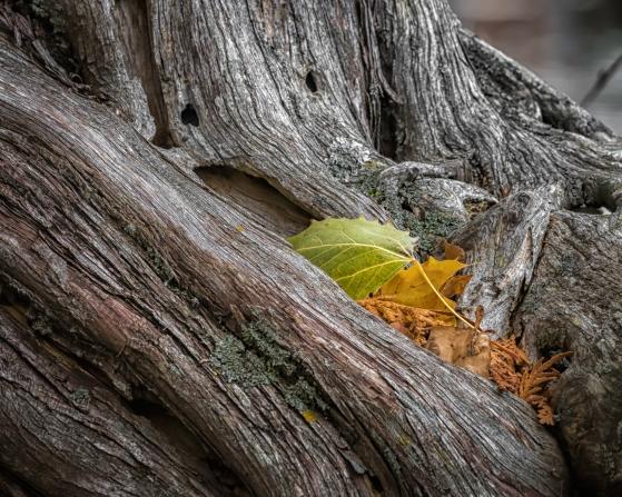 cedar-with-leaf-4203ee