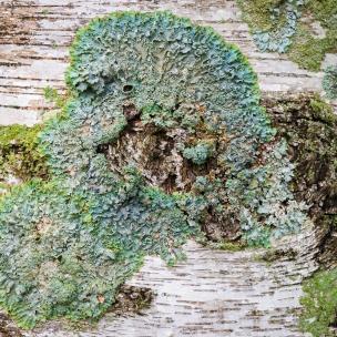 Lichen on birch bark