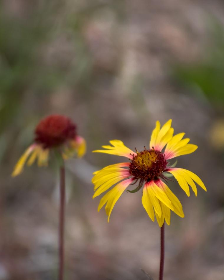 Bandelier flower-7501