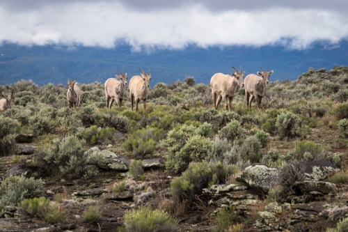 Big Horn Sheep-8041