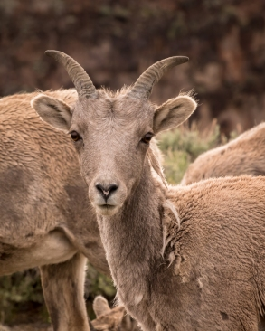 Big Horn Sheep-8059