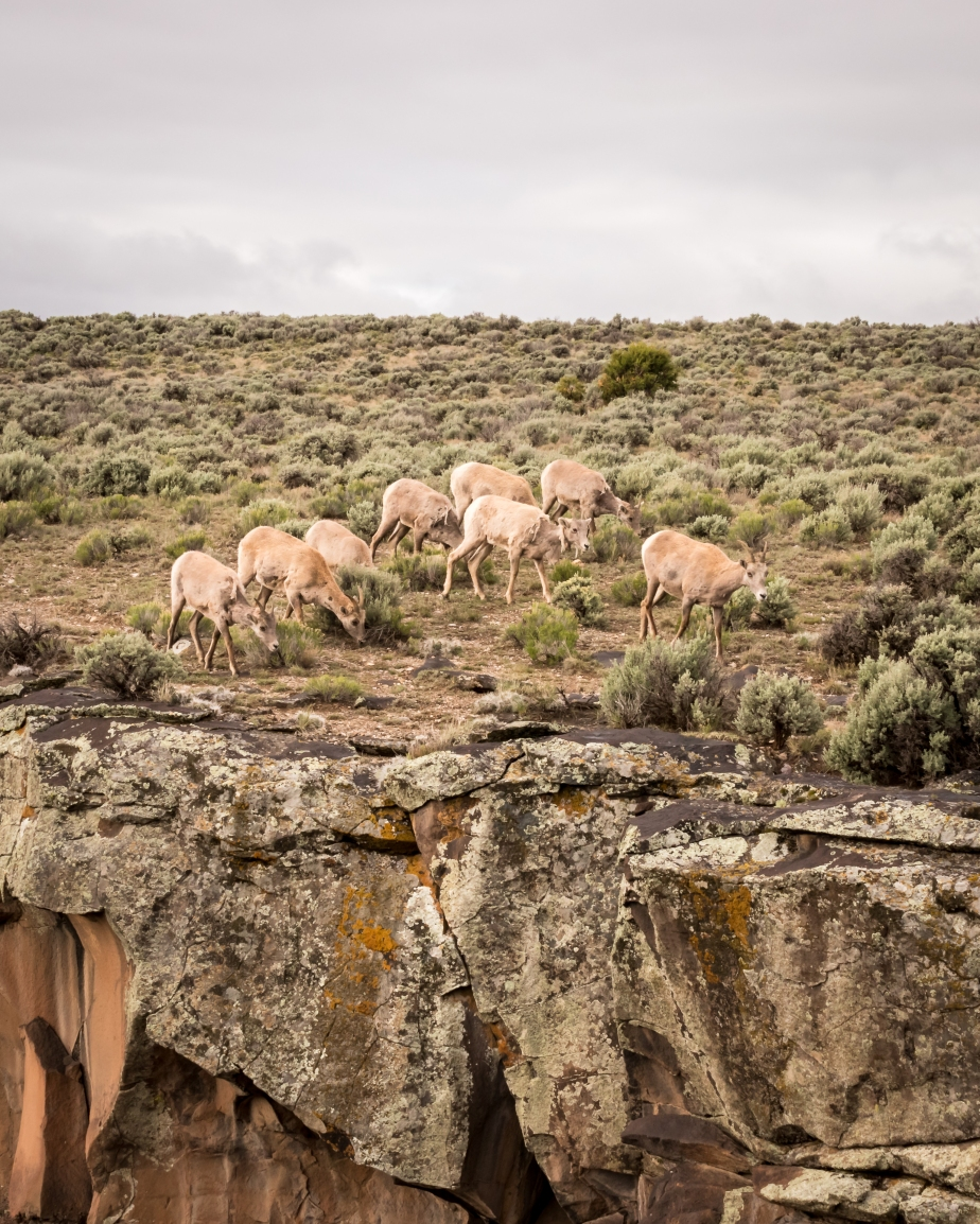 Big Horn Sheep-8076