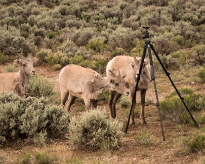 Big Horn Sheep-8086