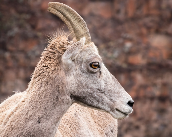 Big Horn Sheep-8135