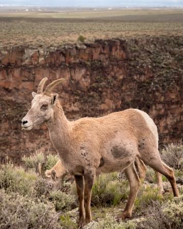 Big Horn Sheep-8150
