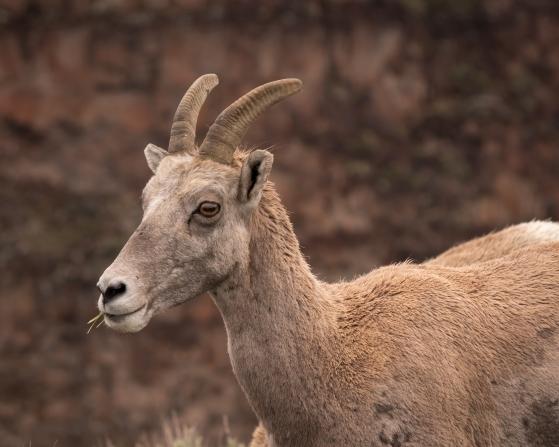 Big Horn Sheep-8152