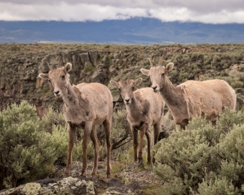 Big Horn Sheep-8161