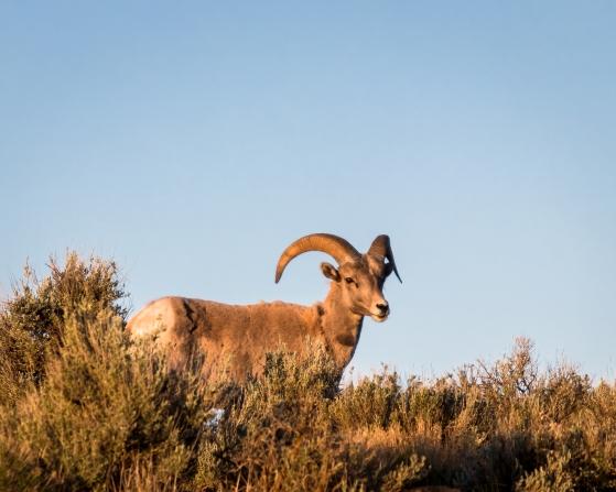 Big Horn Sheep-8286