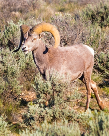 Big Horn Sheep-8381
