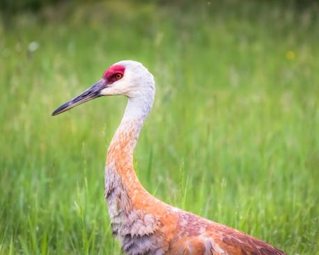 Sandhill Crane-8948