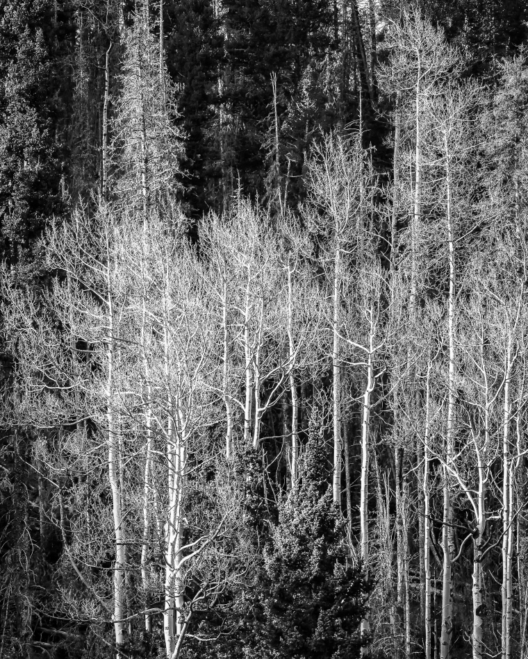 Aspens near Bobcat Pass-