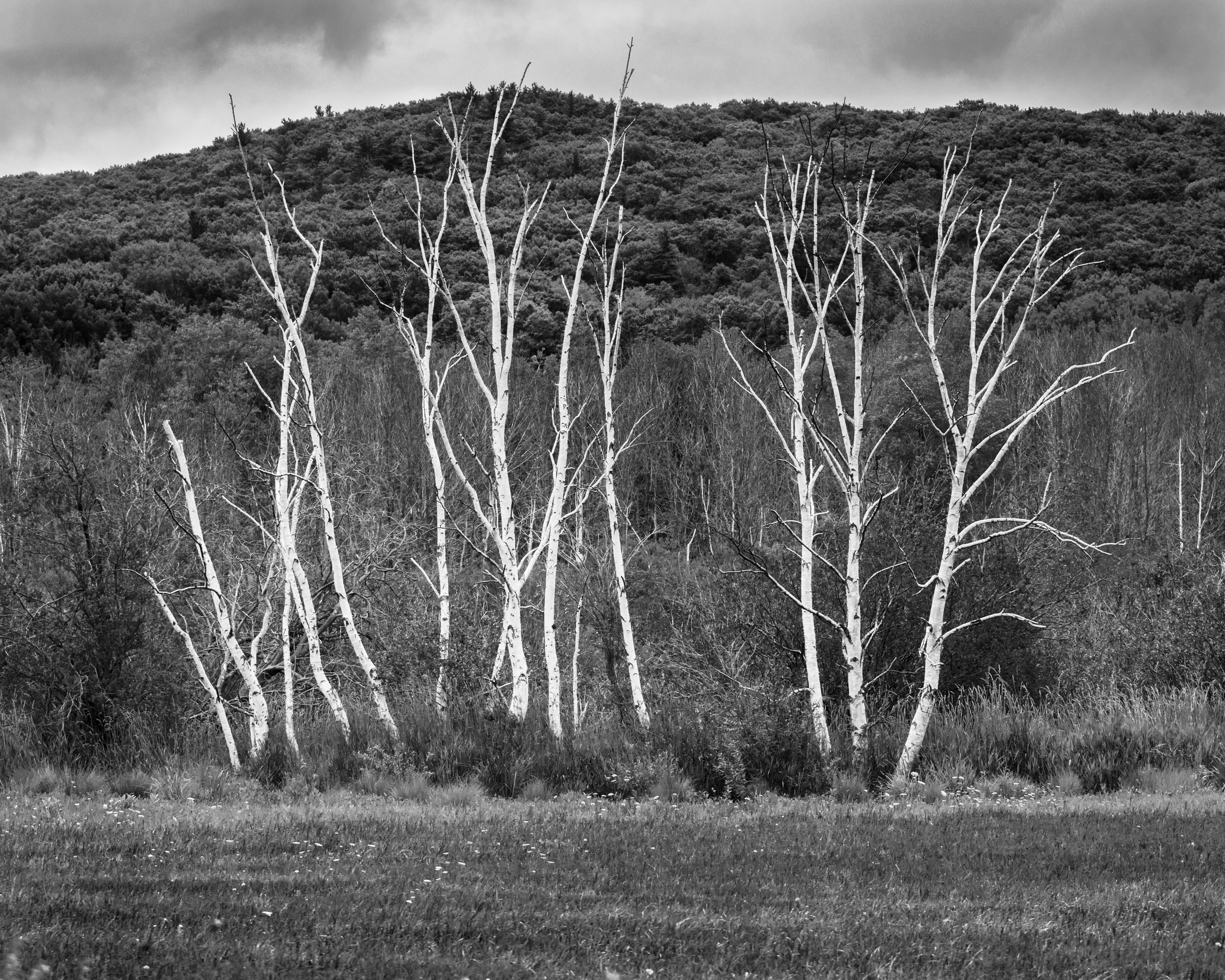 Point Oneida Birches-5604