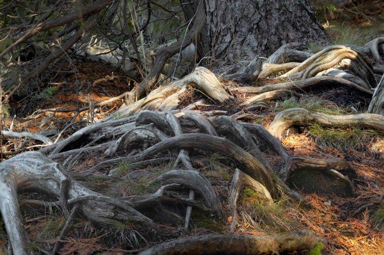 Cedar Roots - Teichner Preserve 7781