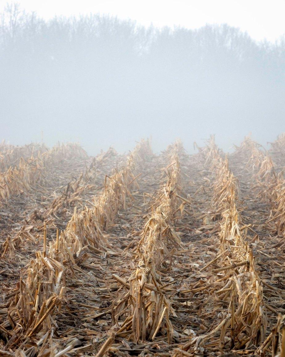 Four Mile Road Corn Field 7556