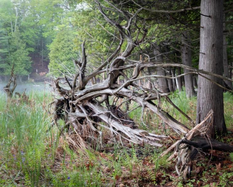 Bass Lake Cedar Roots-8320